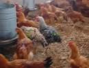 دجاج كروازي المليح بحال البلدي عايش بالعلف الطبيعي