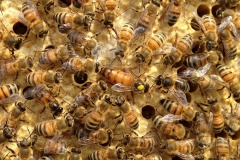 بعض مراحل حياة ملكة النحل