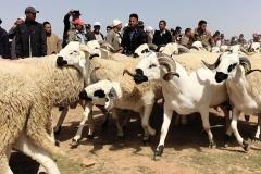 سلالات الاغنام بالمغرب : سلالة السردي